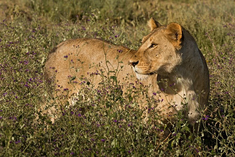 large_Lion_with_..t_Dinner_23.jpg