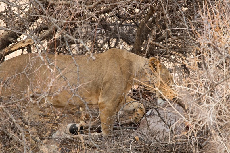 large_Lioness_with_Kill_1.jpg