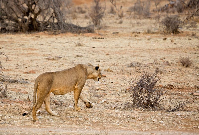 large_Lioness_with_Kill_5.jpg