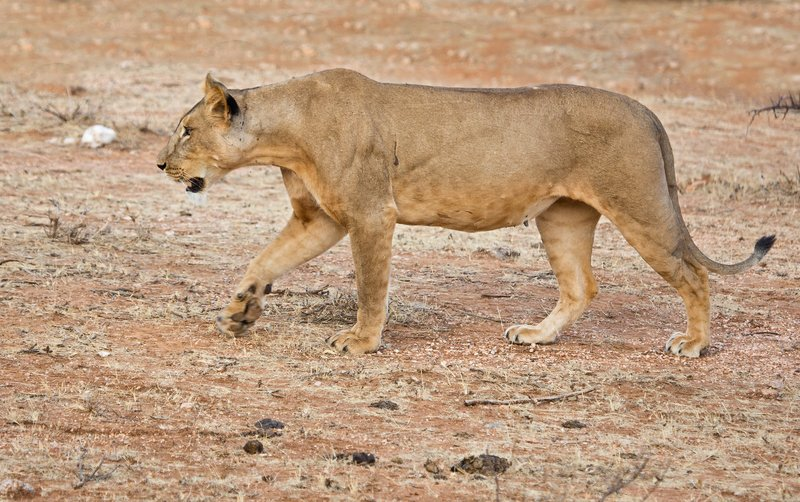large_Lioness_with_Kill_6.jpg