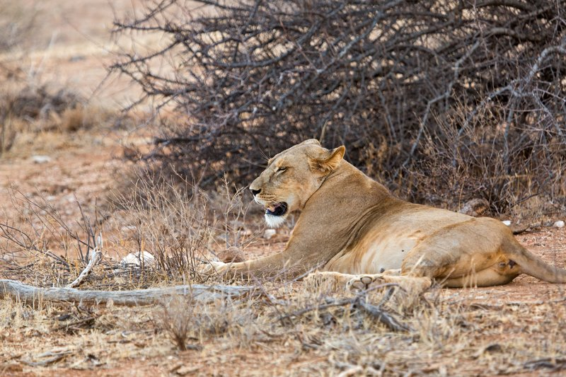 large_Lioness_with_Kill_7.jpg