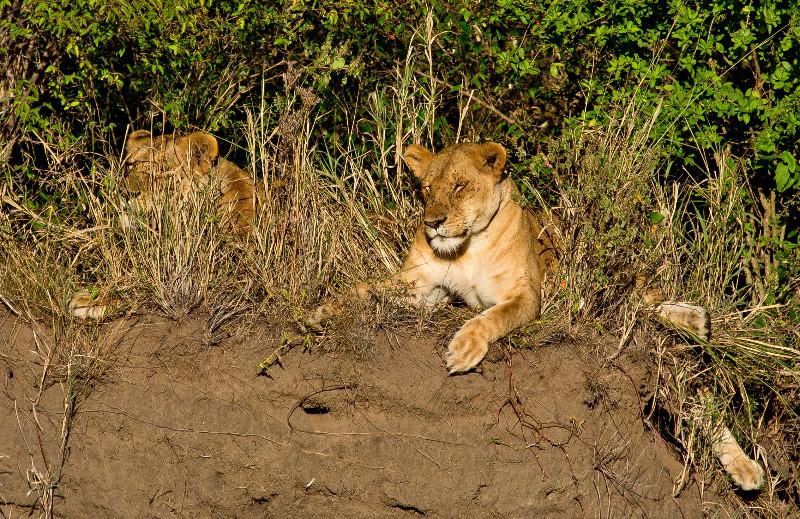 large_Lionesses_..iver_Bank_2.jpg
