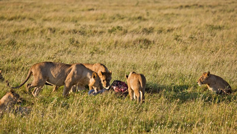 large_Lions_10-105.jpg