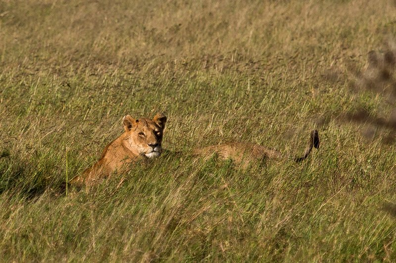 large_Lions_10-151.jpg