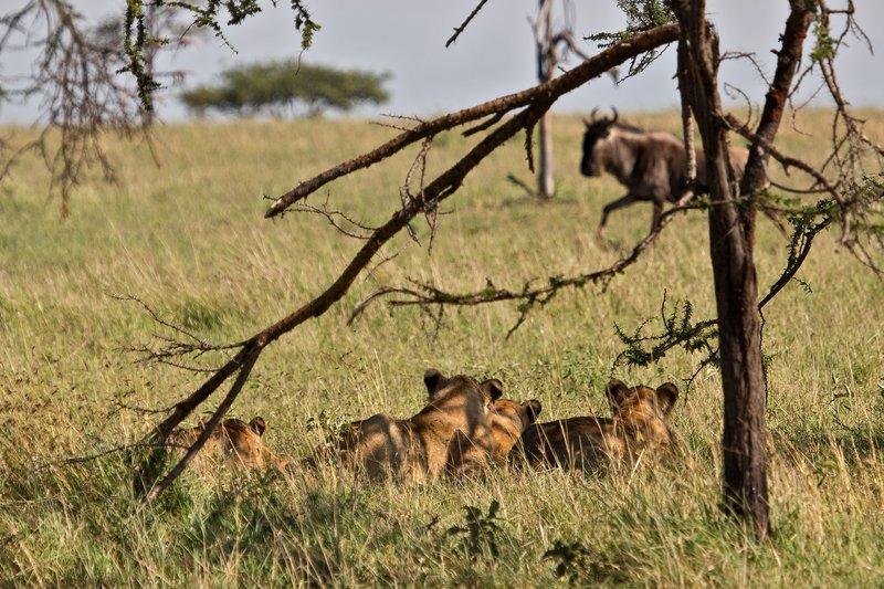 large_Lions_10-155.jpg