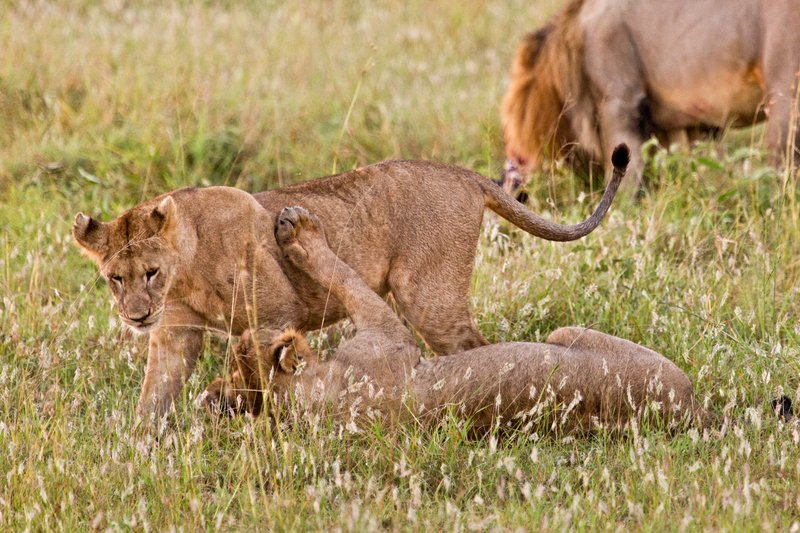 large_Lions_10-22.jpg
