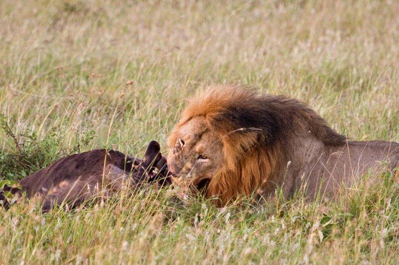 large_Lions_10-32.jpg