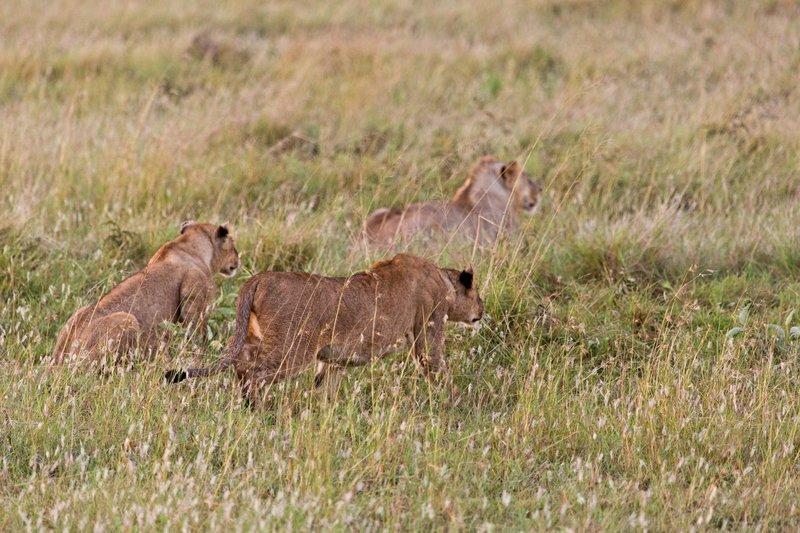 large_Lions_10-61.jpg