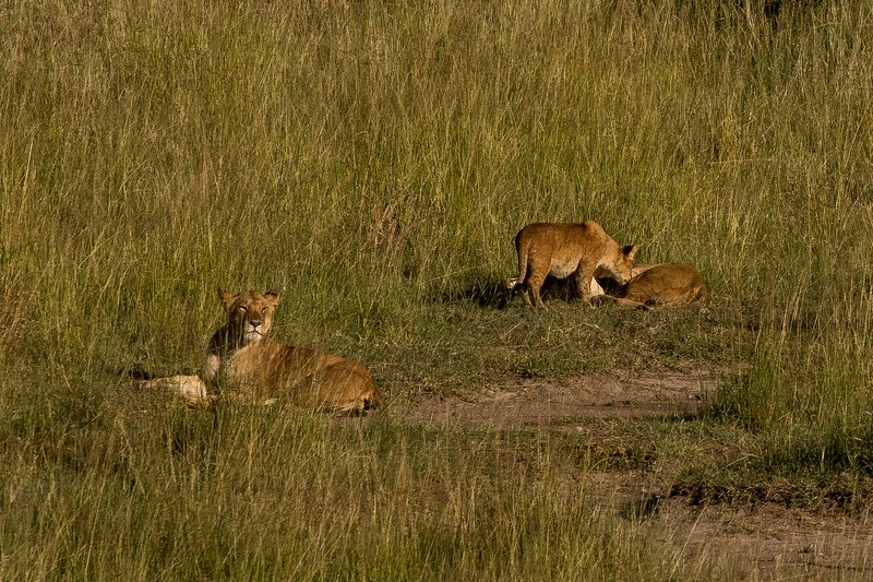 large_Lions_102.jpg