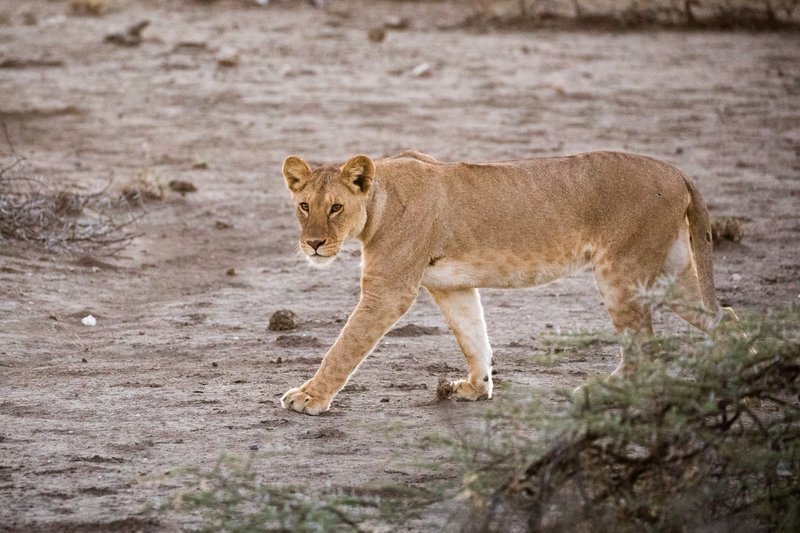 large_Lions_104.jpg
