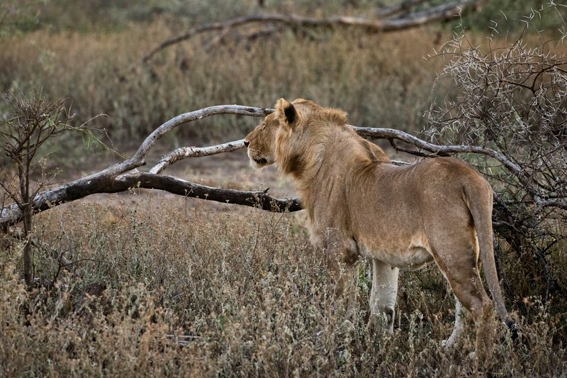 large_Lions_109.jpg