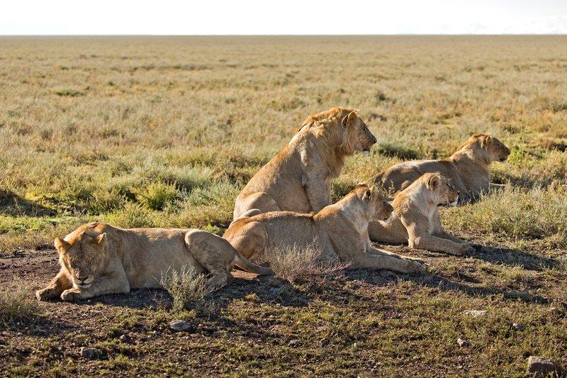 large_Lions_1101.jpg