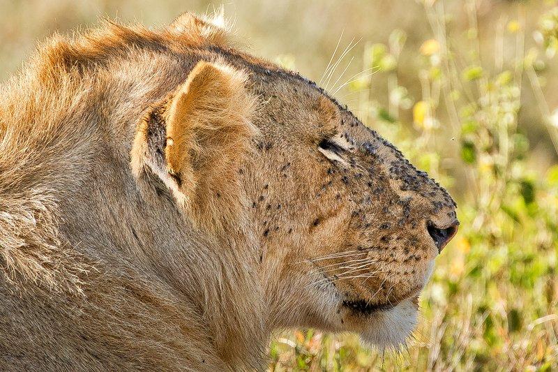 large_Lions_1102.jpg