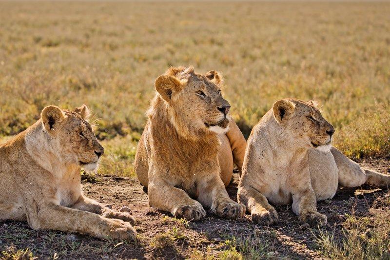 large_Lions_1106.jpg