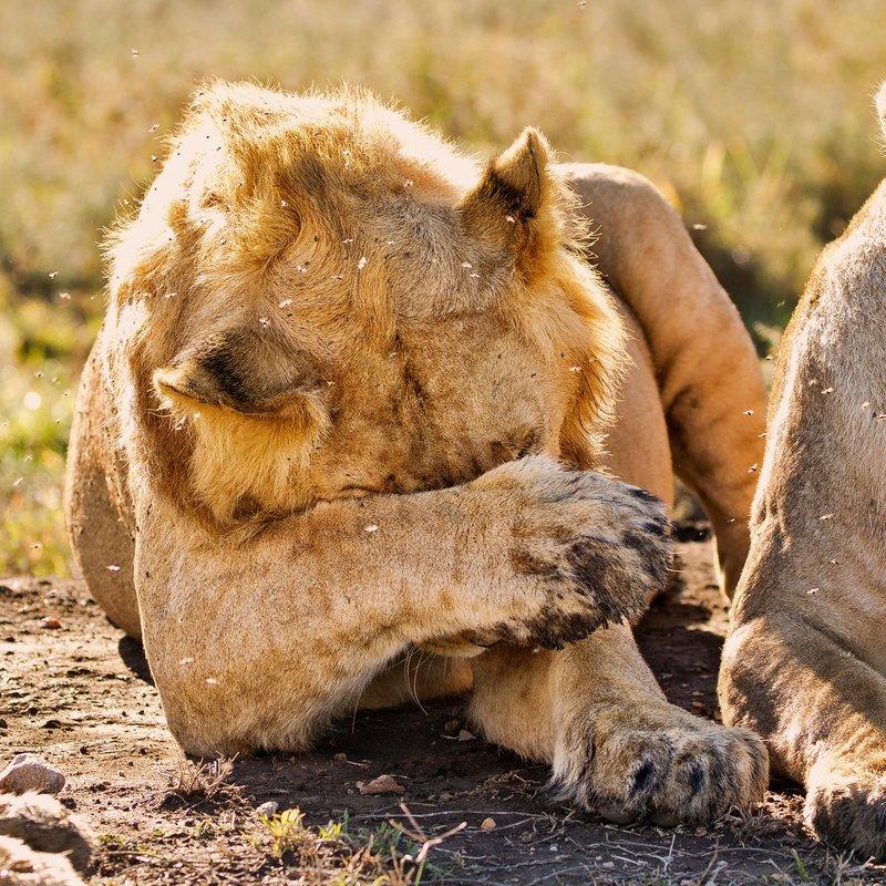 large_Lions_1108.jpg