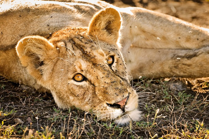 large_Lions_1115.jpg