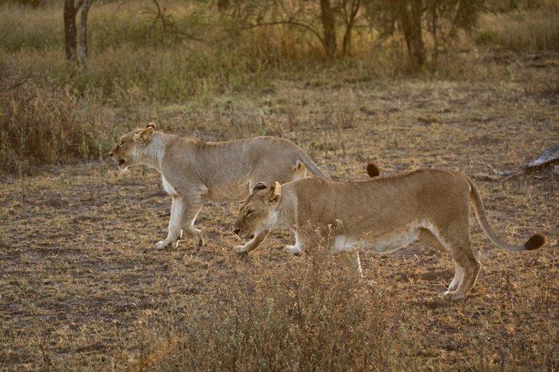 large_Lions_115.jpg