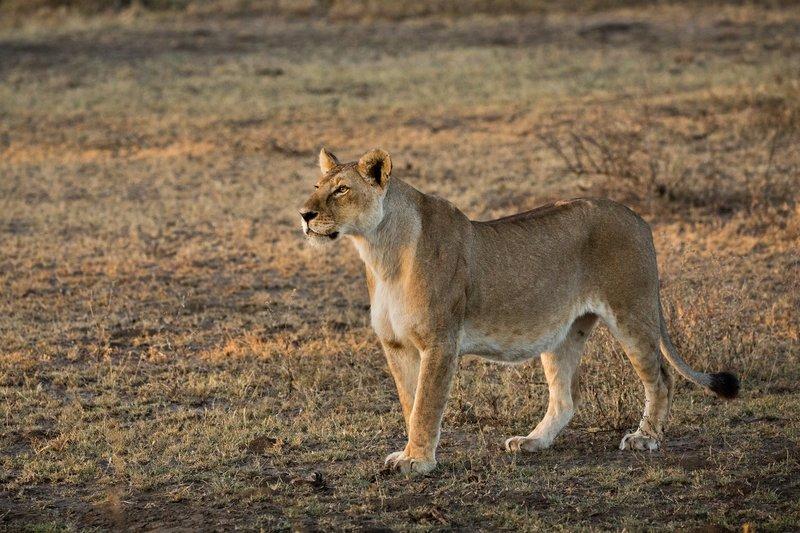 large_Lions_117.jpg