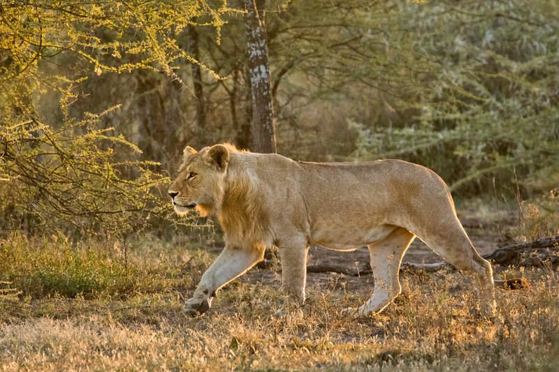 large_Lions_119.jpg