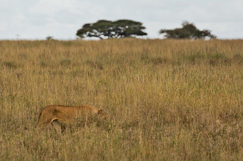 large_Lions_202.jpg
