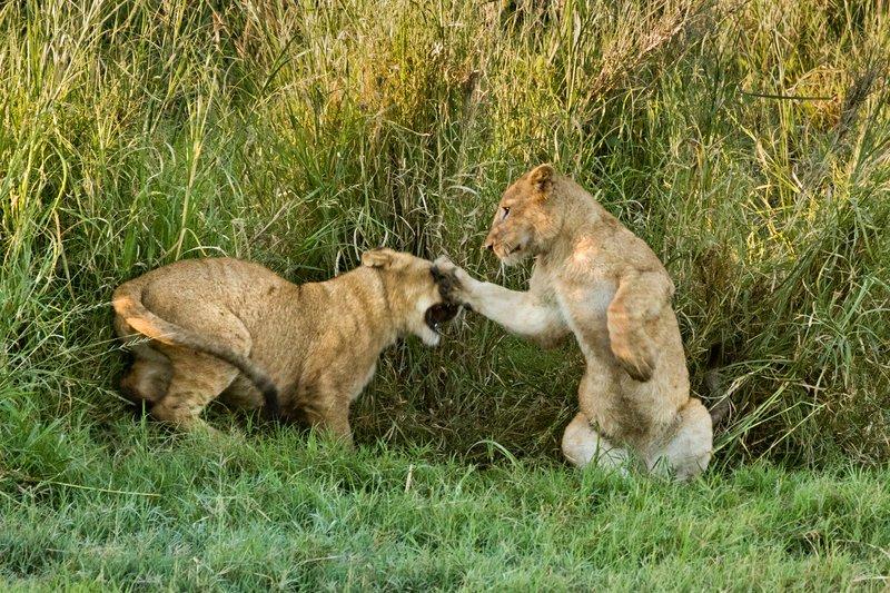 large_Lions_26.jpg