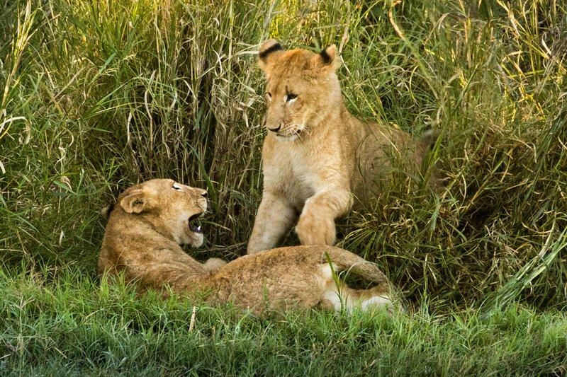 large_Lions_28.jpg