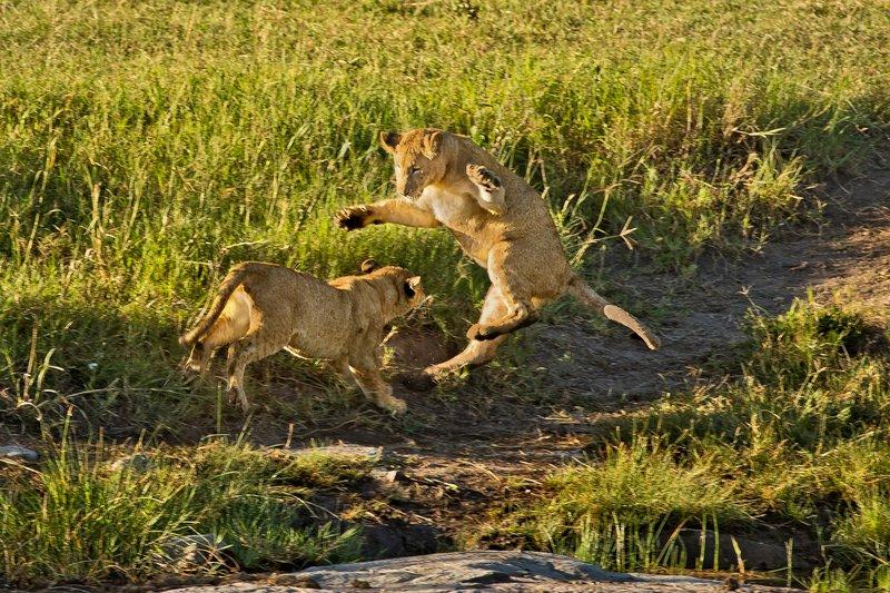 large_Lions_46.jpg