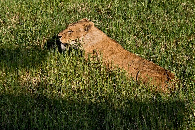large_Lions_6-204.jpg