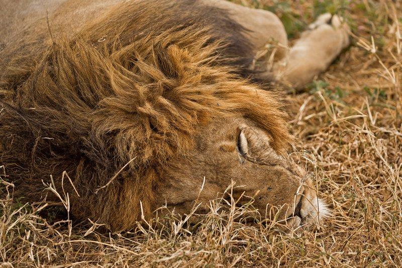 large_Lions_601.jpg