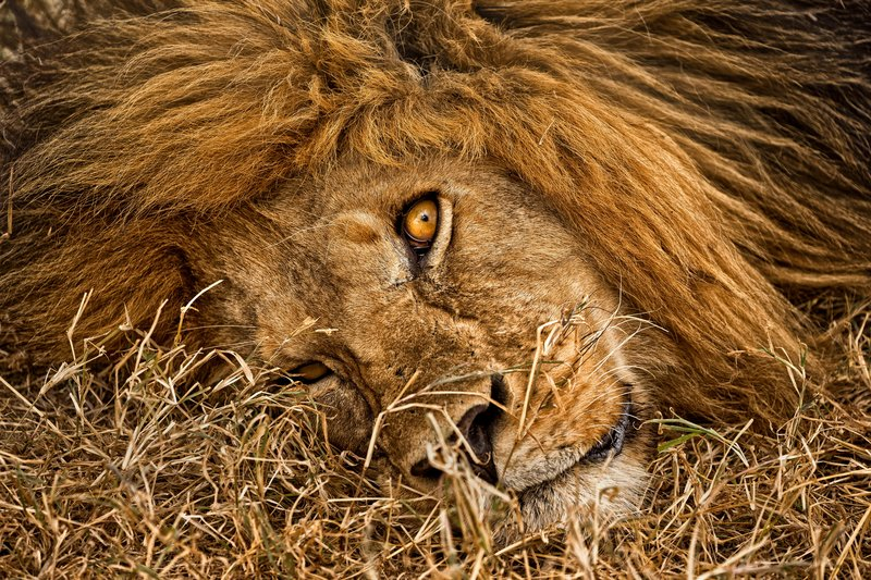 large_Lions_603.jpg
