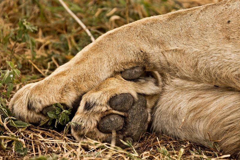 large_Lions_609.jpg