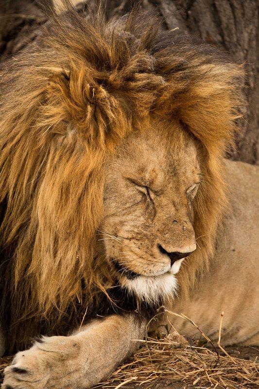 large_Lions_615.jpg
