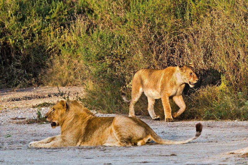 large_Lions_7-11.jpg