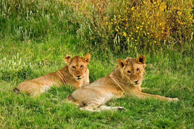 large_Lions_7-29.jpg