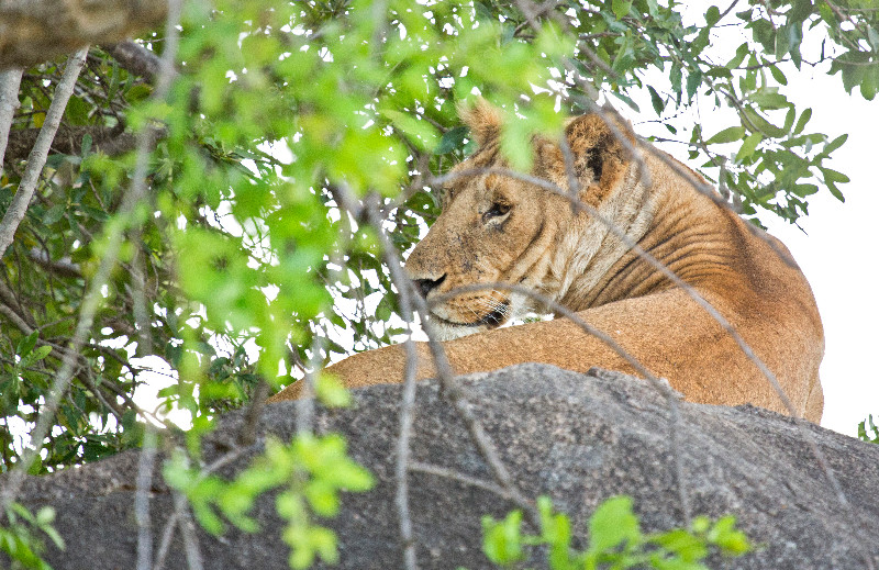 large_Lions_71.jpg