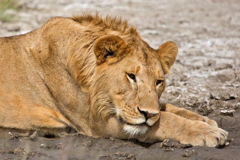 large_Lions_8-22.jpg