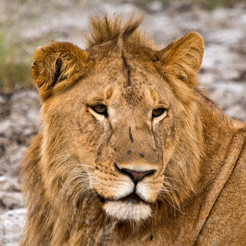 large_Lions_8-27.jpg