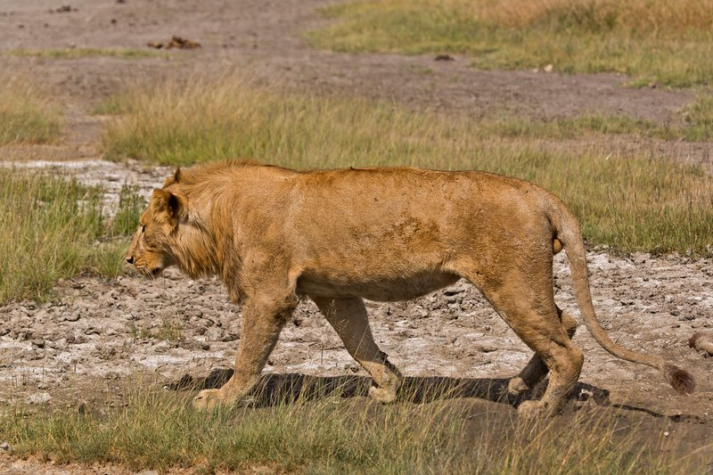 large_Lions_8-36.jpg