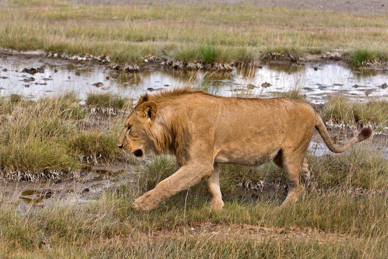 large_Lions_8-42.jpg