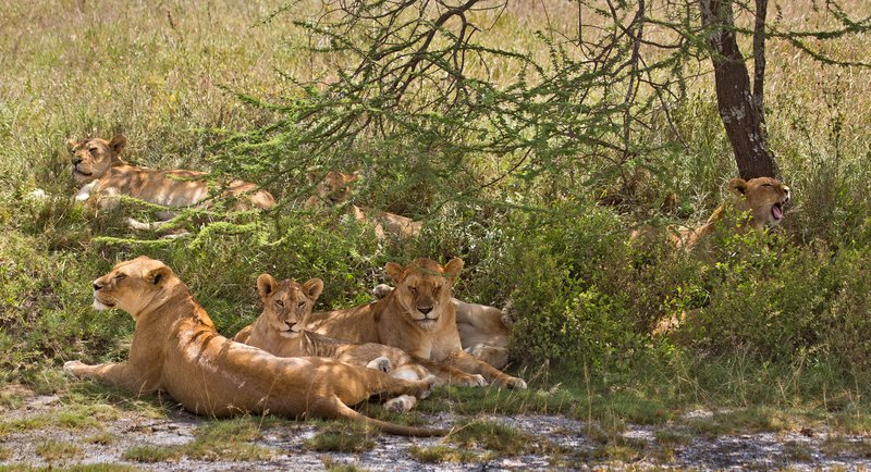 large_Lions_8-44.jpg