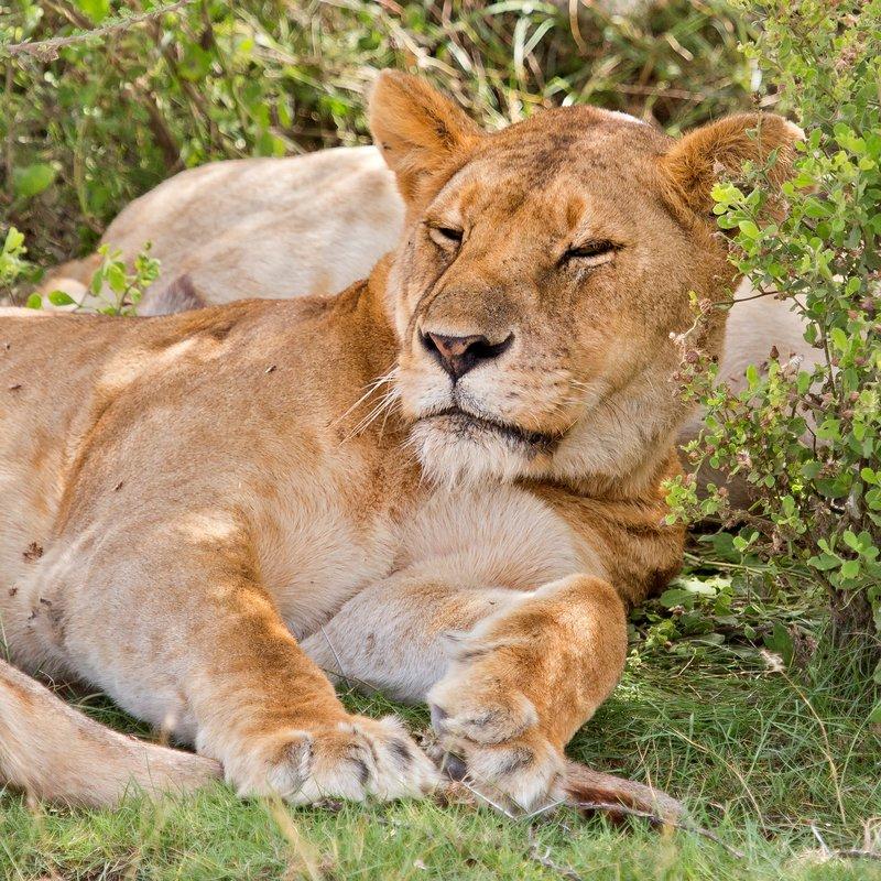 large_Lions_8-48.jpg