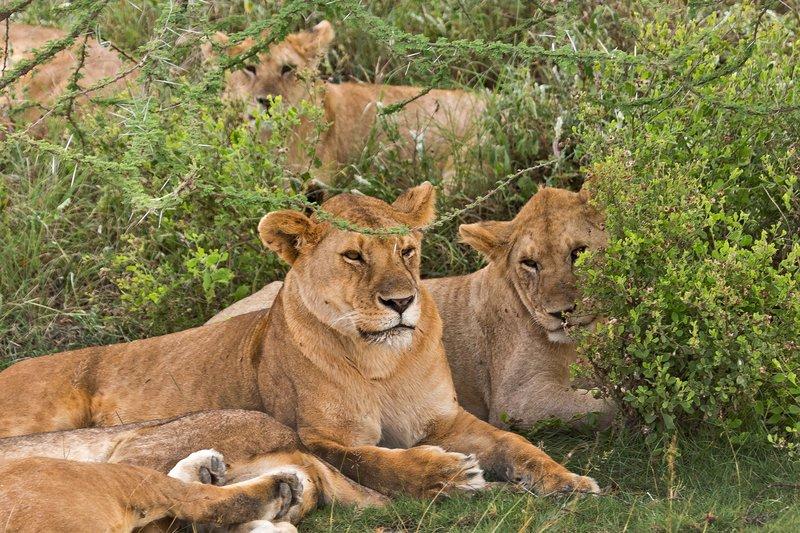 large_Lions_8-52.jpg