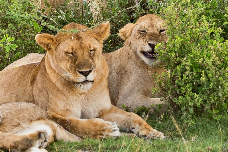 large_Lions_8-54.jpg