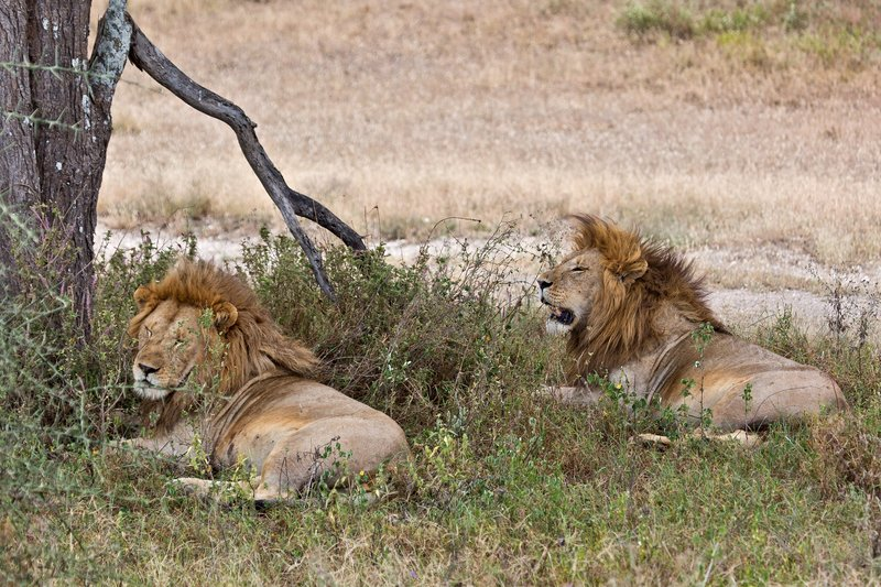 large_Lions_8-57.jpg