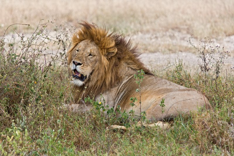 large_Lions_8-59.jpg