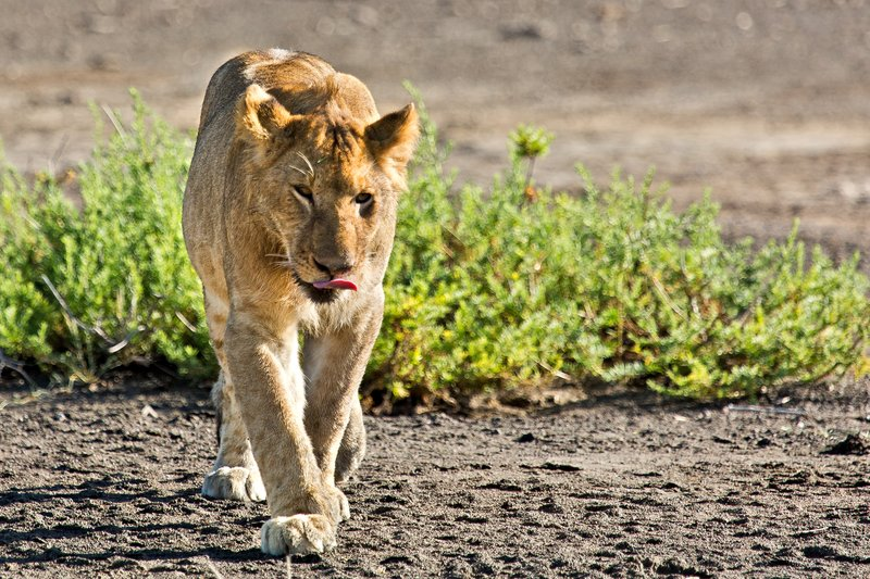 large_Lions_9-11.jpg