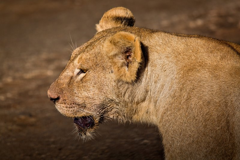 large_Lions_9-15.jpg