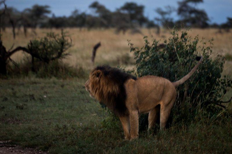 large_Lions_901.jpg