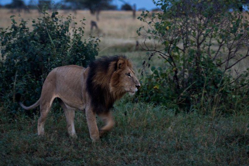 large_Lions_902.jpg