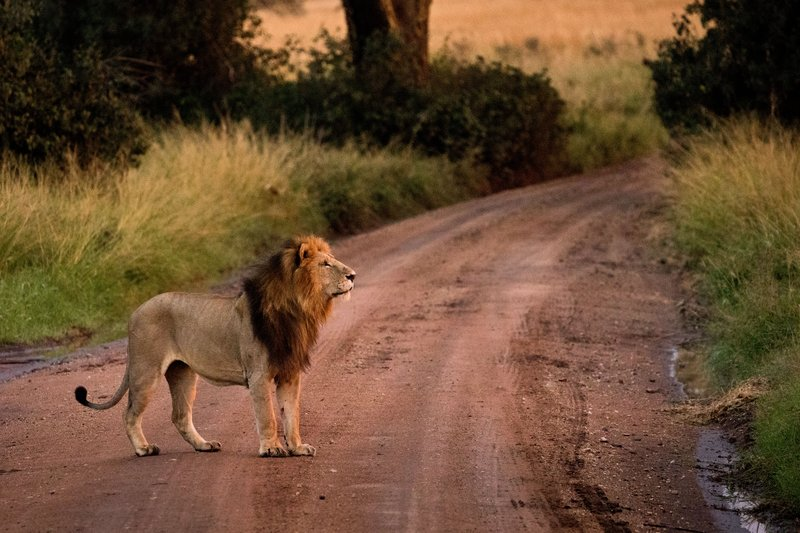 large_Lions_904.jpg